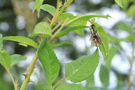 オカモトトゲエダシャク幼虫IMG_0127.JPG