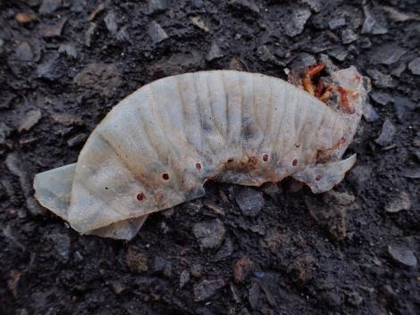 共食い カブトムシ幼虫