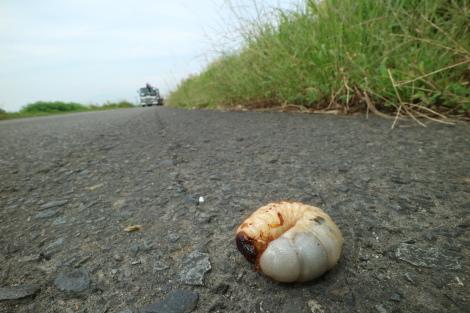 カブトムシ幼虫IMG_5057.JPG