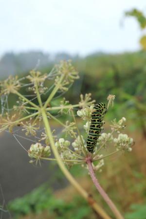 キアゲハ幼虫IMG_5959.JPG