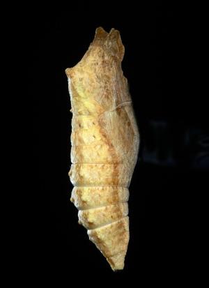 キアゲハ蛹褐色型.JPG