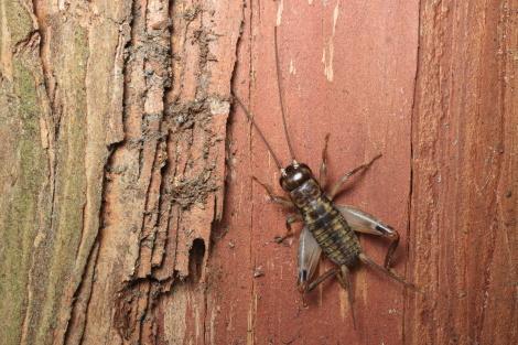 クチキコオロギ幼虫IMG_6909.JPG