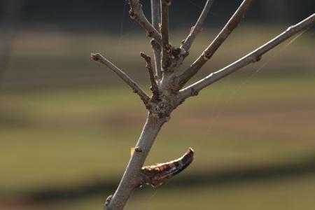 クワエダシャク幼虫11-01-040665.JPG