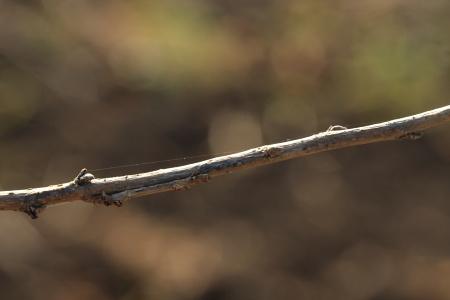 クワエダシャク幼虫11-01-040676.JPG