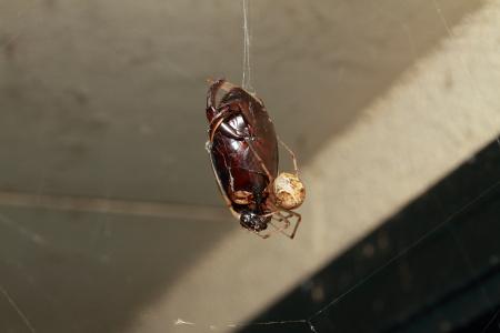 コガタノゲンゴロウクモ網巣にかかる.JPG