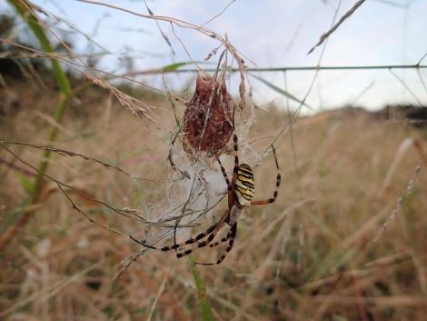 ナガコガネグモ産卵PA300070.jpg