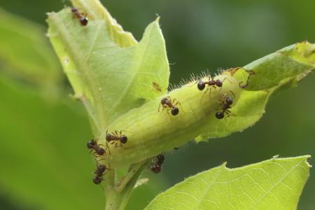 ムラサキシジミ幼虫IMG_3215.JPG