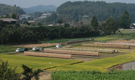 稲刈り2011.JPG
