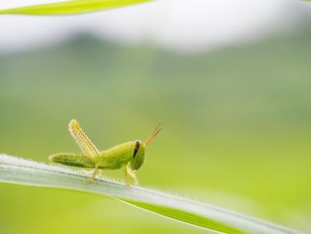 Z8120334ツチイナゴ幼虫.JPG