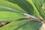 クロヒカゲ幼虫IMG_1147.JPG