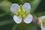 ナズナの花IMG_3616.JPG