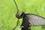 ジャコウアゲハ産卵IMG_4357.JPG